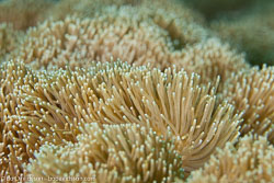 BD-140324-Apo-3648-Dendrogyra-cylindrus.-Ehrenberg.-1834-[Pillar-coral].jpg